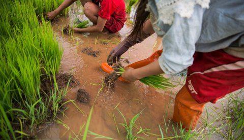 COMERCIO INTERNACIONAL: En Perú, Chile, México y Cuba ya se negocia la admisibilidad del arroz colombiano